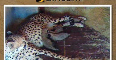 Mama gepard rodila četiri mačeta (VIDEO)
