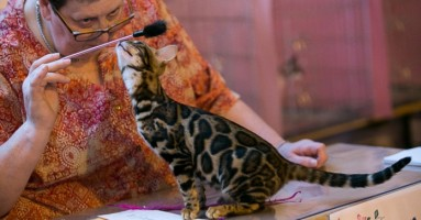 """Izložba mačaka u čast 20 godina felinološkog kluba """"Blue Danube"""""""