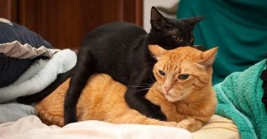 Odlučili ste da uzmete još jednu mačku? Kako da ih pravilno upoznate?