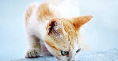 DOBRE vesti: FIP će uskoro biti izlečiva bolest mačaka!