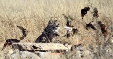 Brza hrana za leoparda (FOTO)