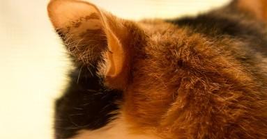 Džepići na ušima mačke i njihova svrha