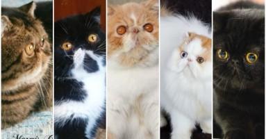 Marmis Cattery - odgajivačnica persijskih i egzota mačaka - 2. deo