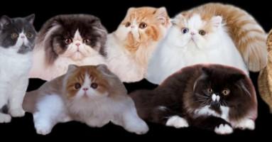 Marmis cattery odgajivačnica mačaka